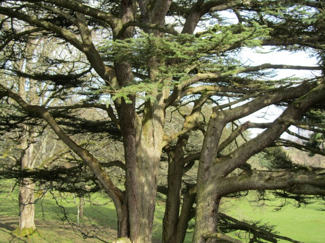 Trees at Dryburgh Abbey